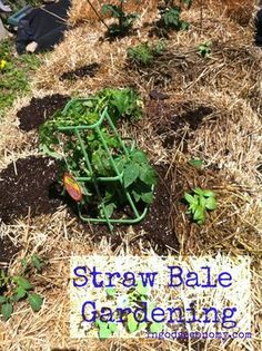 No digging! No weeds! Instant raised beds for square foot gardening. I've used these for two years now--check it out! Naturally Frugal: Straw Bale Gardening