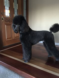 "Check out our website for even more relevant information on ""poodle puppies"". It is an excellent location to find out more. Poodle Grooming, Pet Grooming, Cortes Poodle, Black Standard Poodle, Standard Poodles, Poodle Cuts, Beautiful Dogs, Dog Friends, Dog Love"
