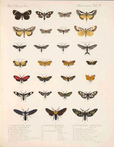 Moths from Biologia Centrali-Americana Lepidoptera-Heterocera v.3