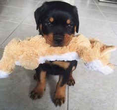 Rottweiler - Loving Confident and Loyal
