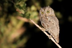 African Scops Owl .... The African Scops owl is a nocturnal bird, roosting during the daytime in dense foliage, against a branch or tree trunk, or in a hole. Pairs may roost close to one another, or even in a loose colony.