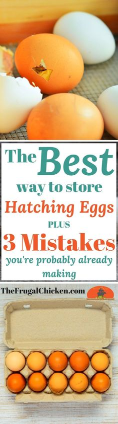 Store Chicken Hatching Eggs Like A Pro + Top 3 Mistakes You Need To Avoid Chicken and duck hatching eggs should be stored a certain way. Here's exactly what to do so your eggs can hatch into chicks! Raising Backyard Chickens, Backyard Poultry, Keeping Chickens, Pet Chickens, Rabbits, Chicken Incubator, Egg Incubator, Incubating Chicken Eggs, Hatching Chickens