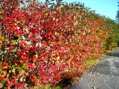 black chokeberry hedgerow | Aronia can be used as a hedge or windbreak...