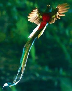 Quetzal con las alas abiertas mostrando plumaje blanco.