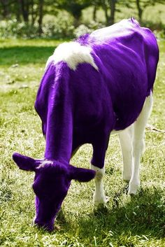 """when I was in first grade, the class was to color a farm scene. I color my cow purple. A class mate said cows are not purple. My reply was,""""mine are! Purple Cow, Purple Haze, Shades Of Purple, Deep Purple, 50 Shades, Purple Animals, All Things Purple, Purple Stuff, Royal Colors"""