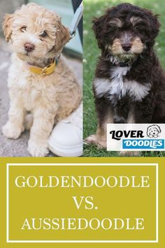 Are you looking into getting a puppy? If you want a doodle, the Goldendoodle and Aussiedoodle make amazing companions. Which breed is better for your family? Cavapoo, Goldendoodle, Doodle Dog Breeds, Getting A Puppy, Poodle, Good Things, Puppies, Amazing, Dogs