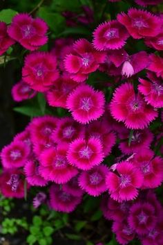 Dianthus, these grow in abundance under all my trees in the yard