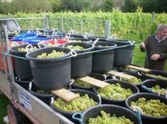 Madeleine Angevine harvest, Oatlry Vineyard, Somerset, UK Sep 2012