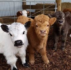 Mini Cows!!! To darn cute!