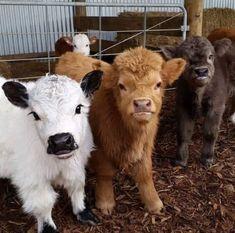 Mini Cows!!! To darn cute!