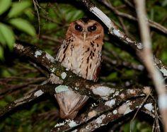 Giant Scops Owl (Mimizuku gurneyi) - Picture 2 in Mimizuku: gurneyi - Location: Pasonanca Watershed Reserve, Zamboanga, Mindanao, Philippines. January 2012. Photo by Bram Demeulemeester.