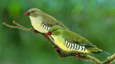 The Green Avadavat or Green Munia (Amandava formosa) is a species of Estrildid finch. They are endemic to the Indian subcontinent.