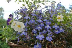 lumiukon mietteitä, lobeliaa ja petuniaa vielä kukassa