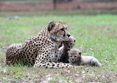 Our new cheetah cubs at 5 weeks.  Learn more at www.whiteoakwildlife.org