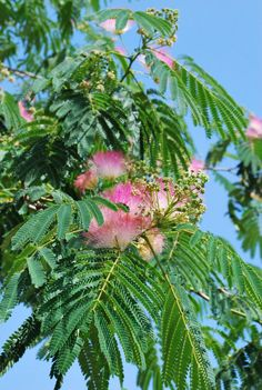Learn How to Harvest and Use Albizia Flowers and Bark | indieherbalist