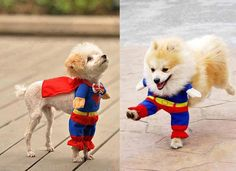 Little cute dogs in superman outfits... click on picture to see more   ...........click here to find out more     http://googydog.com