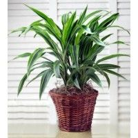Gift a plant online in bangalore,Buy plants online in bangalore,Send plants online in bangalore,Buy bonsai plants online in bangalore,Buy bonsai plants in bangalore,Bonsai plants for sale in bangalore,Bonsai plants online in bangalore,Order plants online in Bangalore
