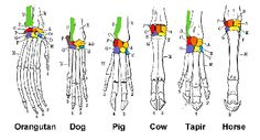 evolution morphology - Cerca con Google