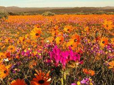 Namaqua Zuid-Afrika http://www.naturescanner.nl/afrika/zuid-afrika/noordwesten