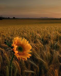 Sunflower and amber waves of grain.