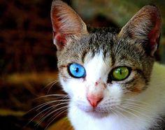 一般來說,全身白毛的貓擁有雙色眼睛的機率最高,但是這隻貓咪也擁有異色瞳耶~
