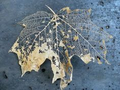 Could be one cool way to combine line drawing & fall leaf color. Leaf Skeleton, Motif Floral, Leaf Art, Natural Forms, Trees To Plant, Shades Of Blue, Autumn Leaves, Autumn Nature, Art Photography
