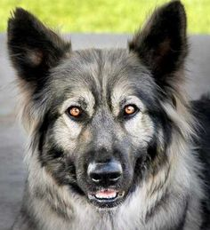 Nadine is an American Alsatian, a breed that has been selected to have some traits of the extinct dire wolf (Canis dirus). Ooh my own little dire wolf would be awesome! Big Dogs, Large Dogs, I Love Dogs, Cute Dogs, Dogs And Puppies, Doggies, Mastiff Puppies, American Alsatian, Beautiful Dogs