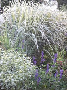 miscanthus dixieland grass (Zone 5-9)