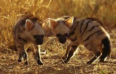Aardwolf - Termite Eating Den Dweller | Animal Pictures and Facts | FactZoo.com