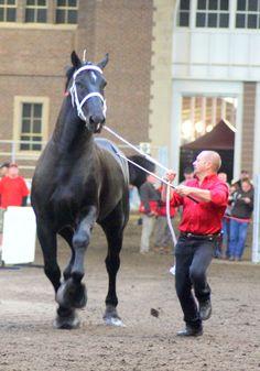 19 hands high! Percheron Stallion....this horse is a MONSTER!