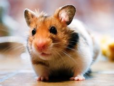 Cute hamsters decorated our pictures. Here are the hamster wall papers. We present you with some lovely 32 hamster backgrounds and information about hamams. Hamster Breeds, Hamsters As Pets, Cute Hamsters, Rodents, Chinchillas, Hamster Care, Baby Hamster, Hamster Toys, Hamster Stuff
