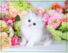 Silver Chinchilla Teacup Persian Kitten