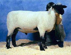 Breeds of Livestock - Hampshire Sheep