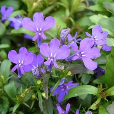 This article describes the healing uses of lobelia, an extremely useful herb which has been used for centuries to aid in respiratory health. Lobelia contains an alkaloid called lobeline, which acts as an expectorant, clearing the lungs of mucus and congestion. It also has bronchodilating effects, opening up the airways and promoting deeper breathing.