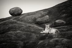 Lioness on the rocks