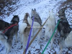 With all of the Valentine's Hearts for the Herd posts, what have we been up to? #dog #siberianhusky #husky