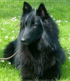 Groenendael - Black Belgian Shepherd