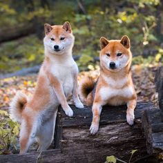 fricken majestic Japanese Dog Breeds, Japanese Dogs, Cute Puppies, Dogs And Puppies, Animals And Pets, Cute Animals, Hachiko, Chiba, Mundo Animal