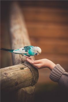 Beautiful little budgie.