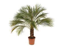 Phoenix roebelinii: Μικρός φοίνικας, κατάλληλος για εσωτερικούς χώρους. Είναι ένα από τα φυτά που η NASA προτείνει για τον καθαρισμό του αέρα του σπιτιού μας! Nasa, Phoenix, Plants, Plant, Planets