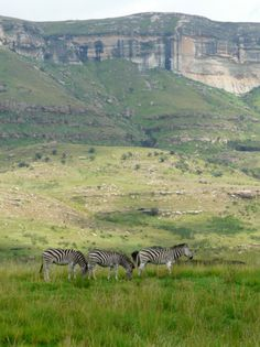 Zebra in the Golden Gate National Park, Drakensberg Mountains, KZN SA South Afrika, Free State, Kwazulu Natal, Out Of Africa, Beaches In The World, Travel Planner, Vacation Places, Africa Travel, Zebras