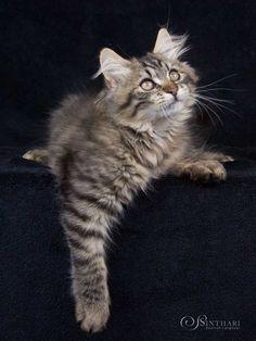 Edward Elric von Sinthari (Deutsch Langhaar, 12 Wochen) Pretty Cats, Beautiful Cats, Cute Cats, Warrior Cats, Tortoiseshell Tabby, Character Base, Edward Elric, Siberian Cat, Cat Stuff