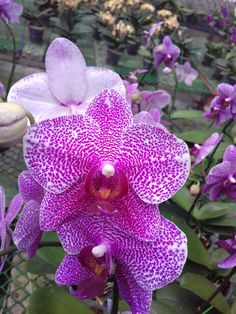 Moth orchid plantlets asexual reproduction