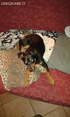 FOX cucciolo simil pinscher