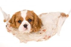 Here is the breed fact sheet for the Miniature Cavalier King Charles Spaniel. They are great dogs that can really bring joy to the lives...  http://miniaturepaws.com/miniature-cavalier-king-charles-spaniel/