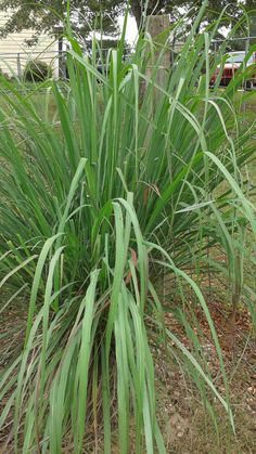 Awesome Benefits of Lemongrass
