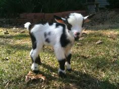 So you want to raise up your baby goat right? I've got the best methods for you to use so your baby goats grow up big and strong. Read on so you can get started on raising baby goats the righ… Cute Baby Animals, Farm Animals, Animals And Pets, Funny Animals, Animals Images, Cute Goats, Mini Goats, Goat Care, Dwarf Goats