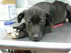 SHE'S ALREADY EXCEPTED WHERE SHE IS SHE NEEDS OUT NOWAtlanta, GA - Labrador Retriever. Meet GLORIA, a puppy for adoption. http://www.adoptapet.com/pet/16755968-atlanta-georgia-labrador-retriever