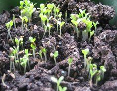 Cum se seamănă salata — 3 metode verificate pentru diferite situații! - Sfaturi pentru casă și grădină Grass, Plants, Permaculture, Gardens, March, Salads, Grasses, Plant, Planets