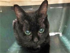 MERLOT, A1123246 – FEMALE, BLACK,   and 2 other cats were abandoned at the shelter – CAME IN WITH  PINOT - A1123250   CABERNET  – A1123248 Super Urgent Shelter Cats  These animals are either high risk, injured or have previously appeared on the To Be Destroyed list and survived. They are in danger of being on the list again or destroyed without any further notice.